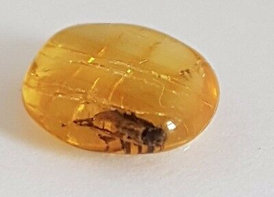 Genuine Baltic Amber With Insect  Free Box 4 X Magnification  Lid