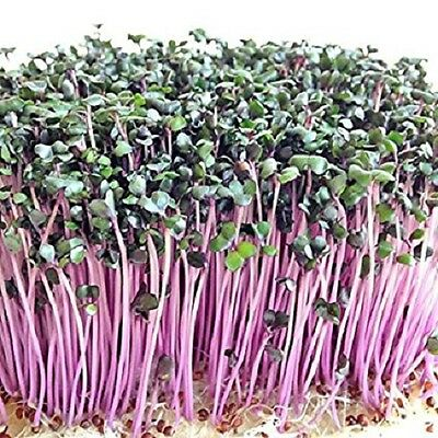 SPROUTING RED CABBAGE microgreens salad - 50 GRAM