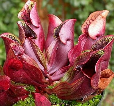 FLY & WASP EATER Sarracenia purpurea carnivorous plant in 100mm pot