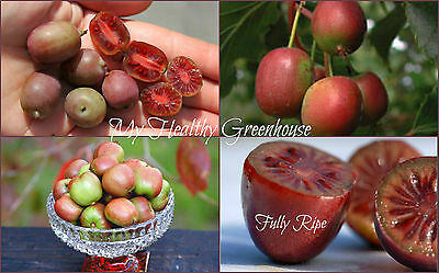 "SEEDS – Very Hardy at -35°C Red Kiwi ""Mt. Tomah"" from China! Self-fertile!"
