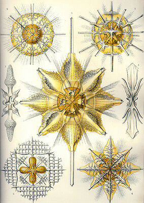 "ERNST HAECKEL DIATOMEA 2 ALGAE ART A4 CANVAS PRINT POSTER 11.7/"" x 8.3/"""