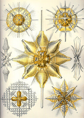 Ernst Haeckel Marine Animal Fine Art New A4 Poster Gloss Print Laminated