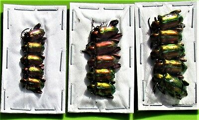 Lot of 5 Red Frog-Leg Beetle Chrysomelidae Sagra laticollis FAST FROM USA