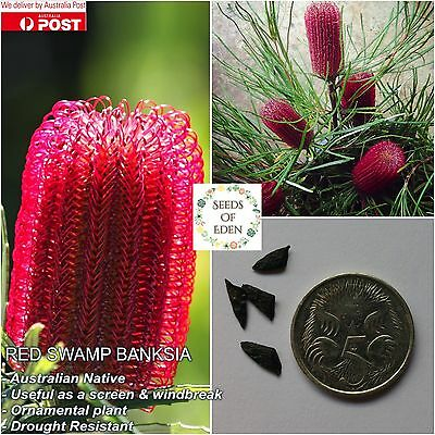5 RED SWAMP BANKSIA SEEDS (Banksia occidentalis); Beautiful red native