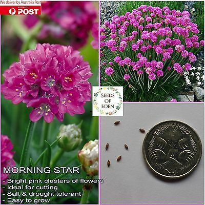 10 MORNING STAR SEEDS (Armeria maritima); Beautiful Deep Pink flowers