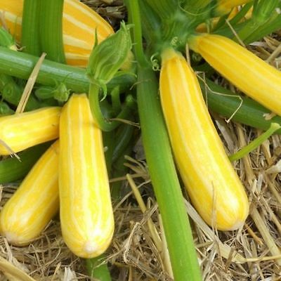 Courgette Sunstripe F1 - 10 Seeds.  FREE P&P