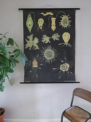 Vintage Jung Koch Quentell Pull Down Biological School Chalk Chart Of Protozoa I