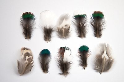 10 x Natural Mixed White Green Blue Striped Black Pheasant Feathers Very Small