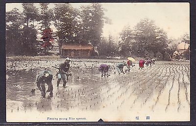 Japan 1907 Rice Planting Picture Postcard to Australia