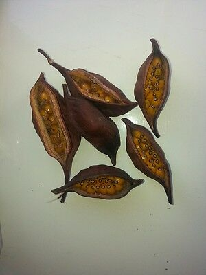 Sterculia Seed Pods for Crafts and Decoration