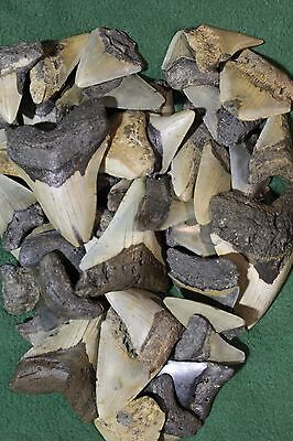 Bulk Megalodon Whole Teeth CLEANED grades 4 and 5 (by the pound)