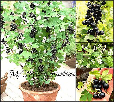 SEEDS - Heavy Cropping Compact Sweet Blackcurrant Noiroma Self-pollinating