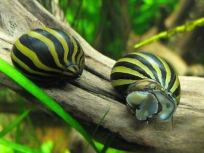 Zebra nerite algae eating snail 1 2 3 5 10 tropical aquarium puffer