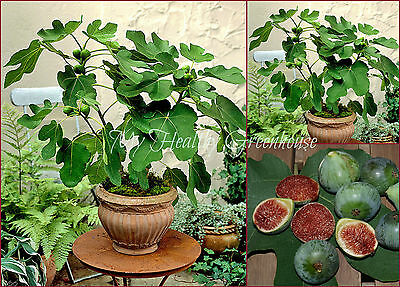 "SEEDS–Green Fig ""Strawberry Verte"" Self Fertile (Ficus Carica) Does Great in Pot"