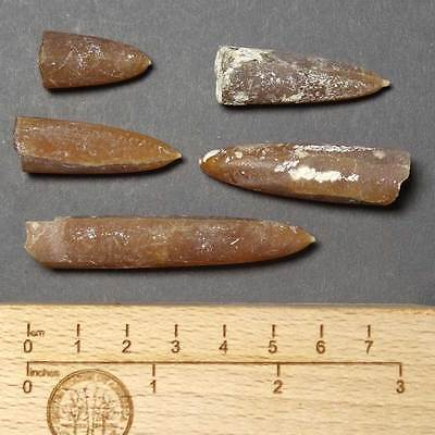 W915- Cretaceous Belemnites Set - 5. Fossils From Poland