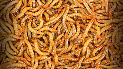 5,000 - Live Mealworms