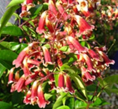 RUBY CHIMES Pandorea pandorana native red&cream flowers climber plant 140mm pot