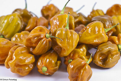 Habanero Mustard Hot Chilli Pepper  (10 Seeds)