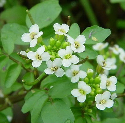 Salad Watercress - Nasturtium Officinale (1000 Seeds)
