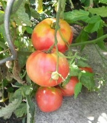 Tomato OXHEART - Very high yield - Tomato seeds - Beef tomato