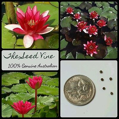 10+ RED WATER LILY SEEDS (Nymphaea pubescens 'Red') Aquatic Flower Ornamental