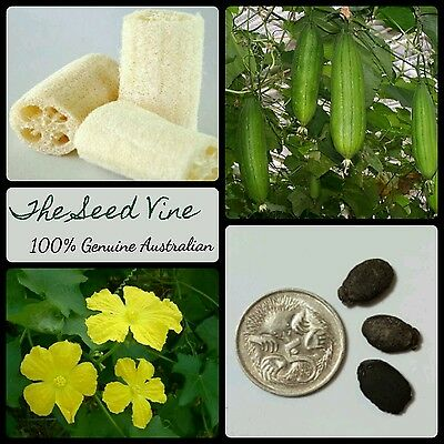 10+ SPONGE GOURD SEEDS (Luffa cylindrica) Edible Fruit Loofah shower