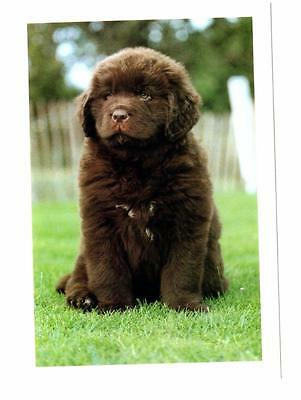New Brown  Newfoundland Dog Puppy Postcard  Featherfields Penny Candy
