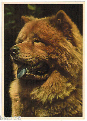 Vintage German postcard photo of CHOW-CHOW dog