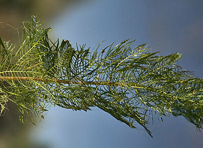 10 Bunches Of Water Milfoil Pond Oxygenating Plant