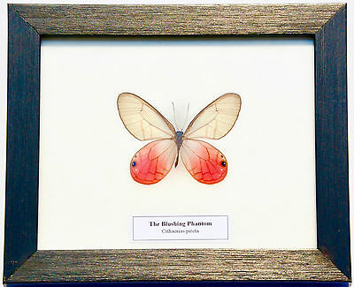 Real Blushing Phantom Butterfly In Framed Display: Taxidermy