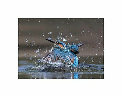 BRITISH KINGFISHER RISING FROM THE RIVER 16 x 12 inch MOUNTED PRINT