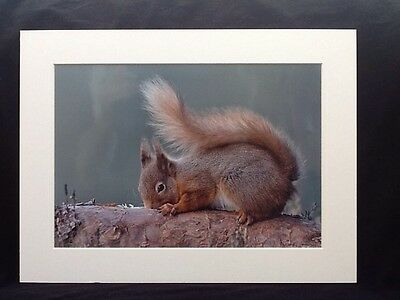 16 x 12 INCH MOUNTED PRINT: RED SQUIRREL ON BRANCH