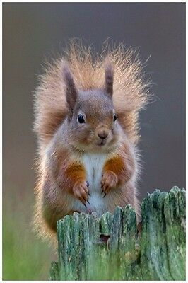 SCOTTISH WILD RED SQUIRREL WITH BUSHY TAIL. 16x12 MOUNTED PRINT