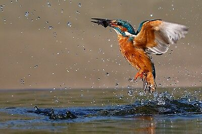 16 x 12 INCH MOUNTED KINGFISHER  RISING FROM THE WATER PRINT.  SIGNED