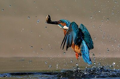 KINGFISHER! 16x12 MOUNTED PRINT. British kingfisher in action with catch.SIGNED