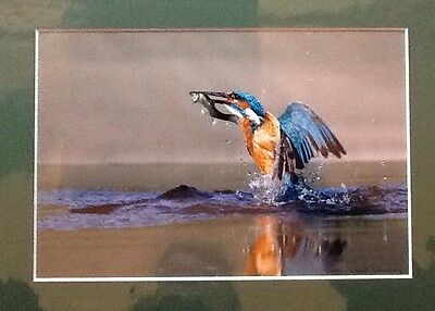 KINGFISHER RISING SIGNED MOUNTED PRINT 10x 8 Inches Ready To Frame
