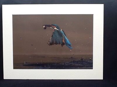 16 x 12 INCH MOUNTED KINGFISHER IN AIR WITH CATCH PRINT.  SIGNED