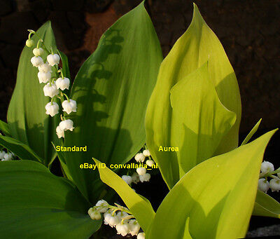 Convallaria majalis 'Aurea' Golden yellow leaved lily-of-the-valley Galanthus