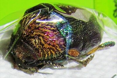 Amazing African Jewel Beetle Sternocera pulchra fischeri FAST SHIP FROM USA