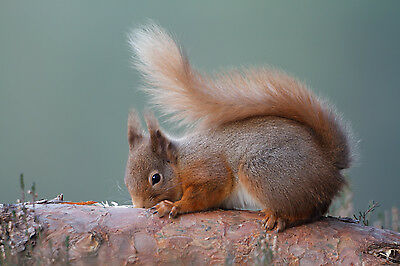 WILD RED SQUIRREL IN CAIRNGORMS  MOUNTED 10 x 8 PRINT