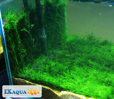 20cm x 8cm Live Aquarium Plant Taiwan Moss Tropical Fish Tank Carpet shrimp hide