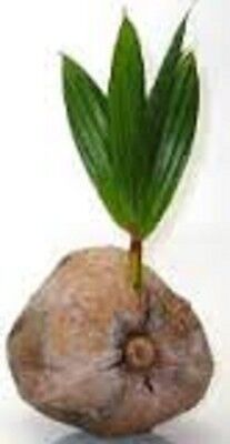 Live Tropical Coconut PALM Tree indoor / outdoor plant