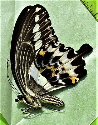 Cream-banded Swallowtail Papilio gigon gigon Male Papered/Folded FAST FROM USA