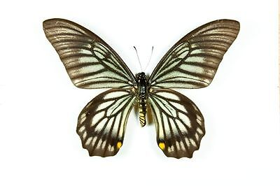 Swallowtail Butterfly Chilasa veiovis Male Folded/Papered FAST SHIP FROM USA