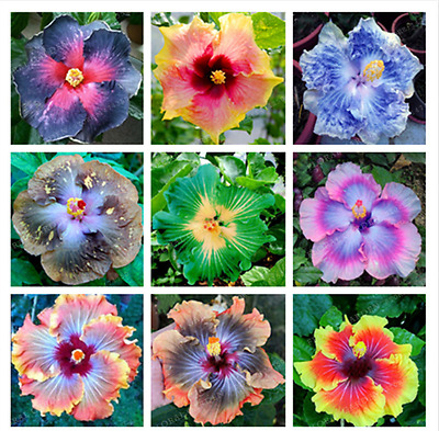 Gardening Giant Hibiscus Exotic Coral Flower 100 Seeds Mix Color Hibiscus Flower