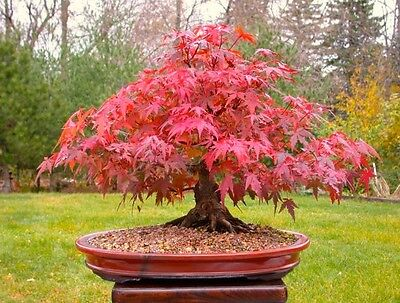 (S) 100% True Japanese Red Maple Bonsai Tree - 20 Seeds / Pack
