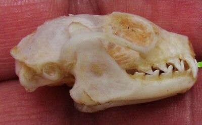 Lesser Short-nosed Fruit Bat Cynopterus brachyotis Skull FAST SHIP FROM USA