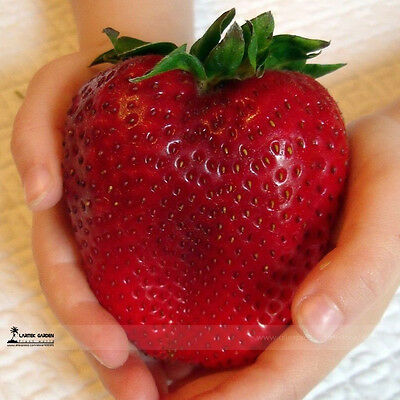 Super Mixed Strawberry Seed Apple size, Garden, Fruit Plant,Sweet,Giant