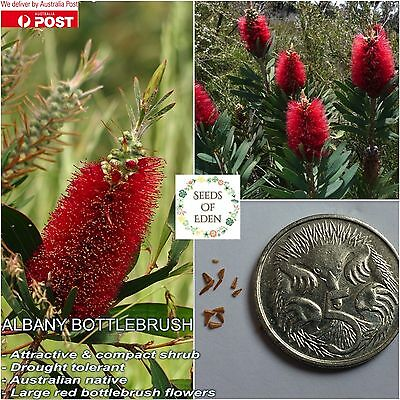 100+ ALBANY BOTTLEBRUSH SEEDS(Callistemon glaucus); Native Hardy