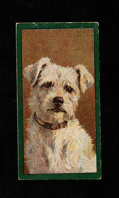 """Taddy 1900 Intriguing Scarce ( Dog ) Type Card """""""" #  49 Wirehaired Terrier  """""""""""